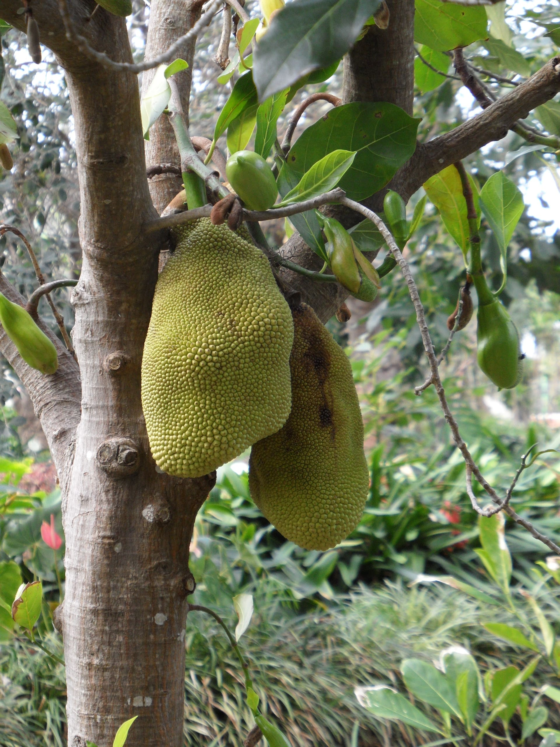 Botanischer Garten Jackfrucht