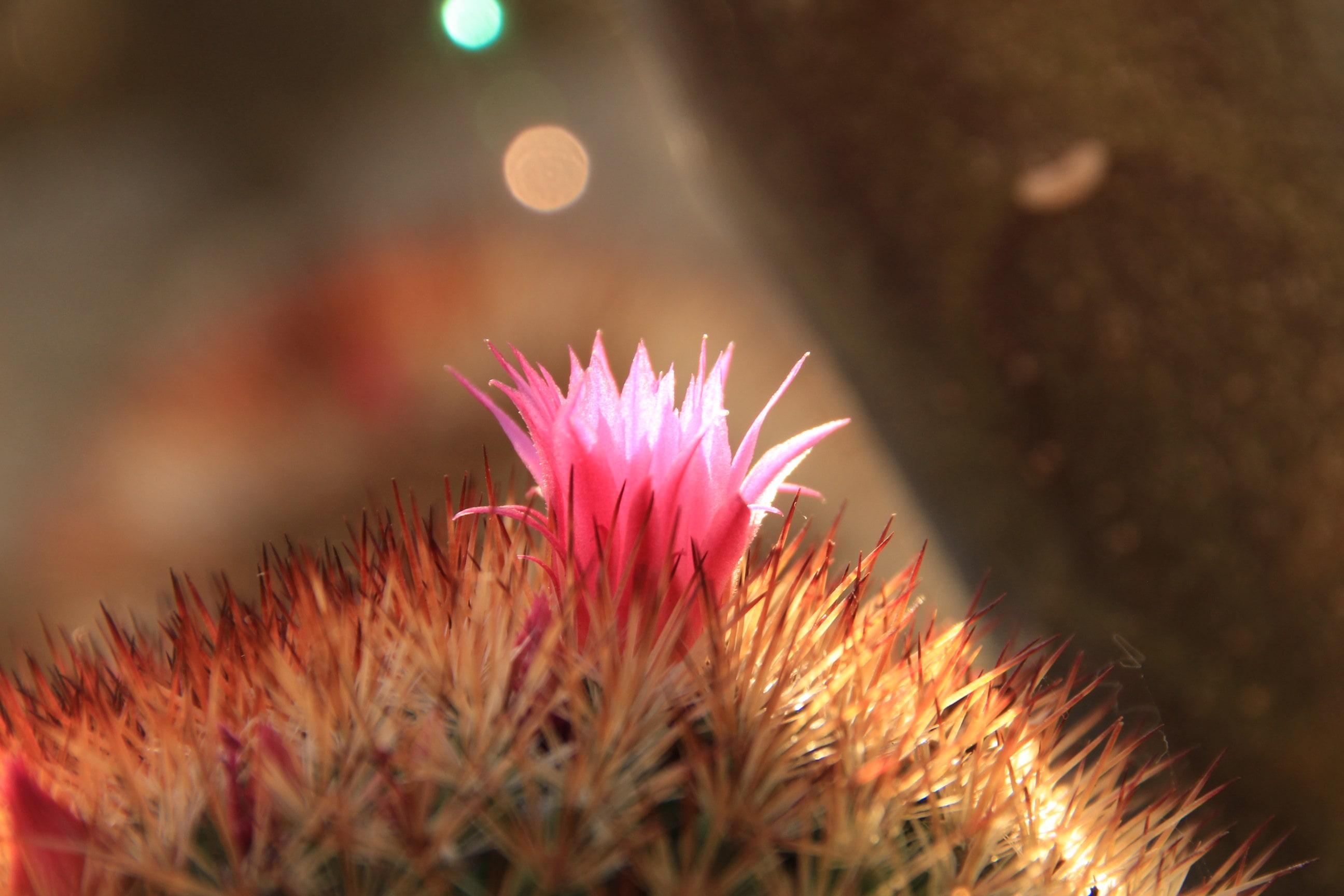 Teneriffa Kaktus