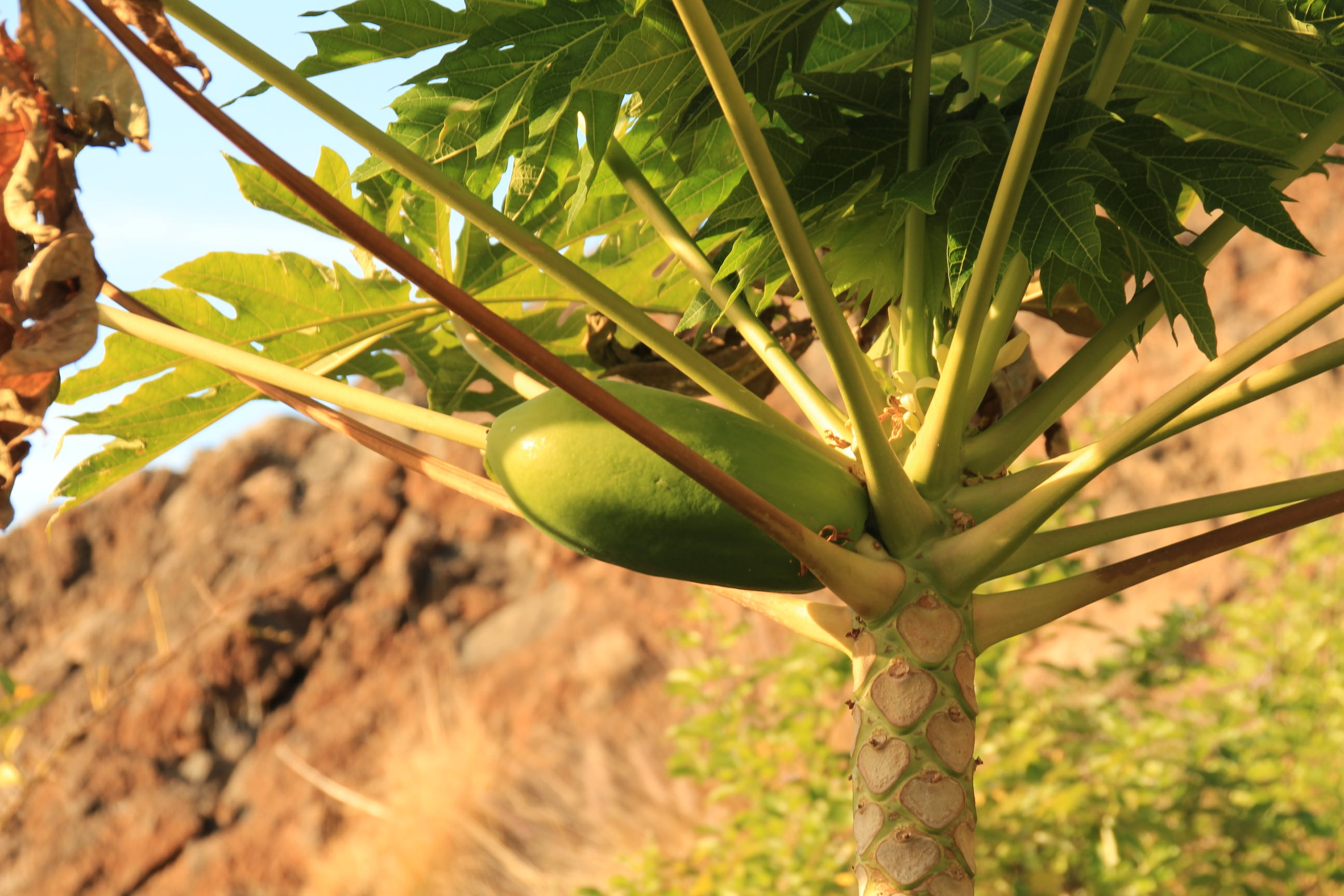 Teneriffa Papaya