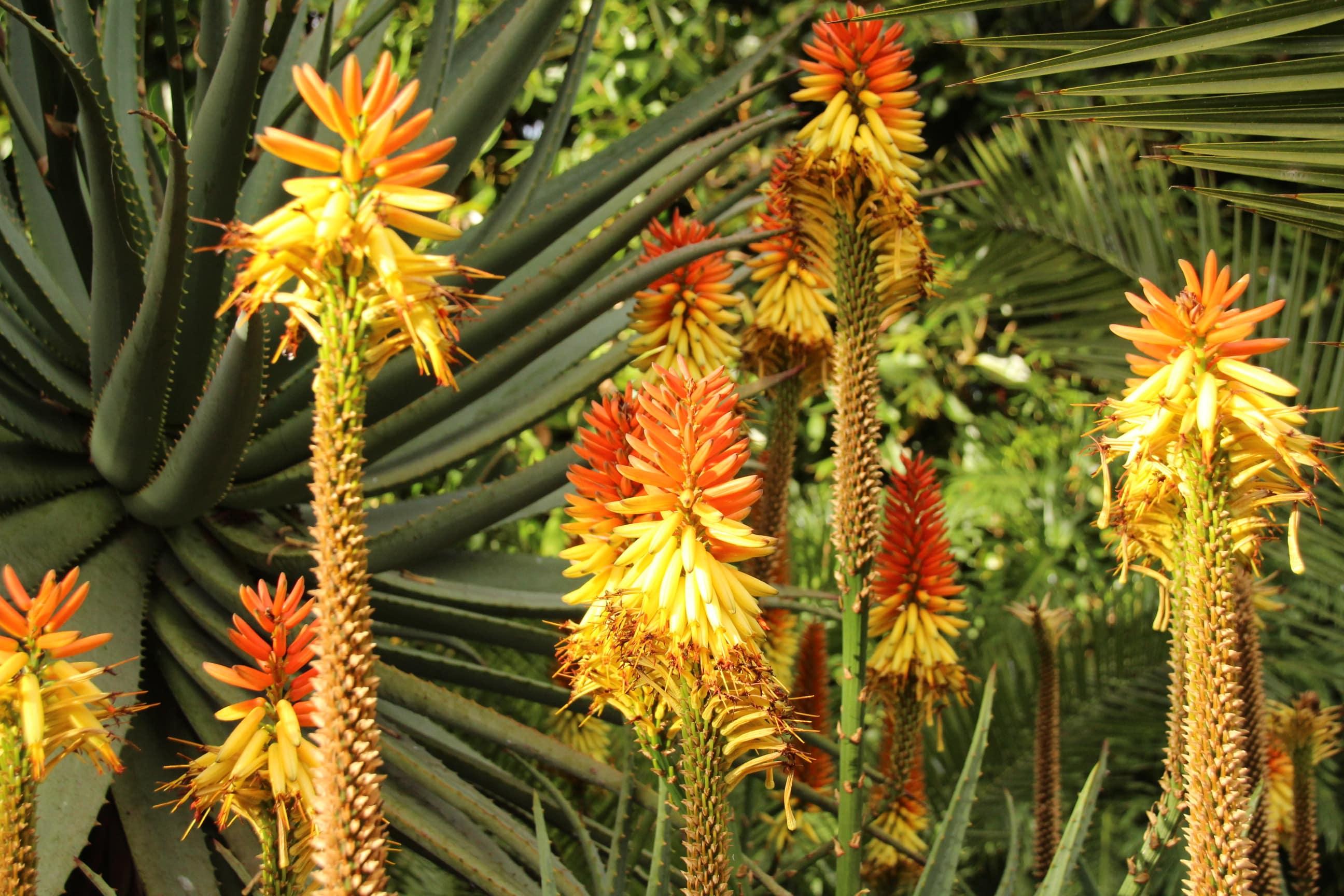 Teneriffa exotische Blume