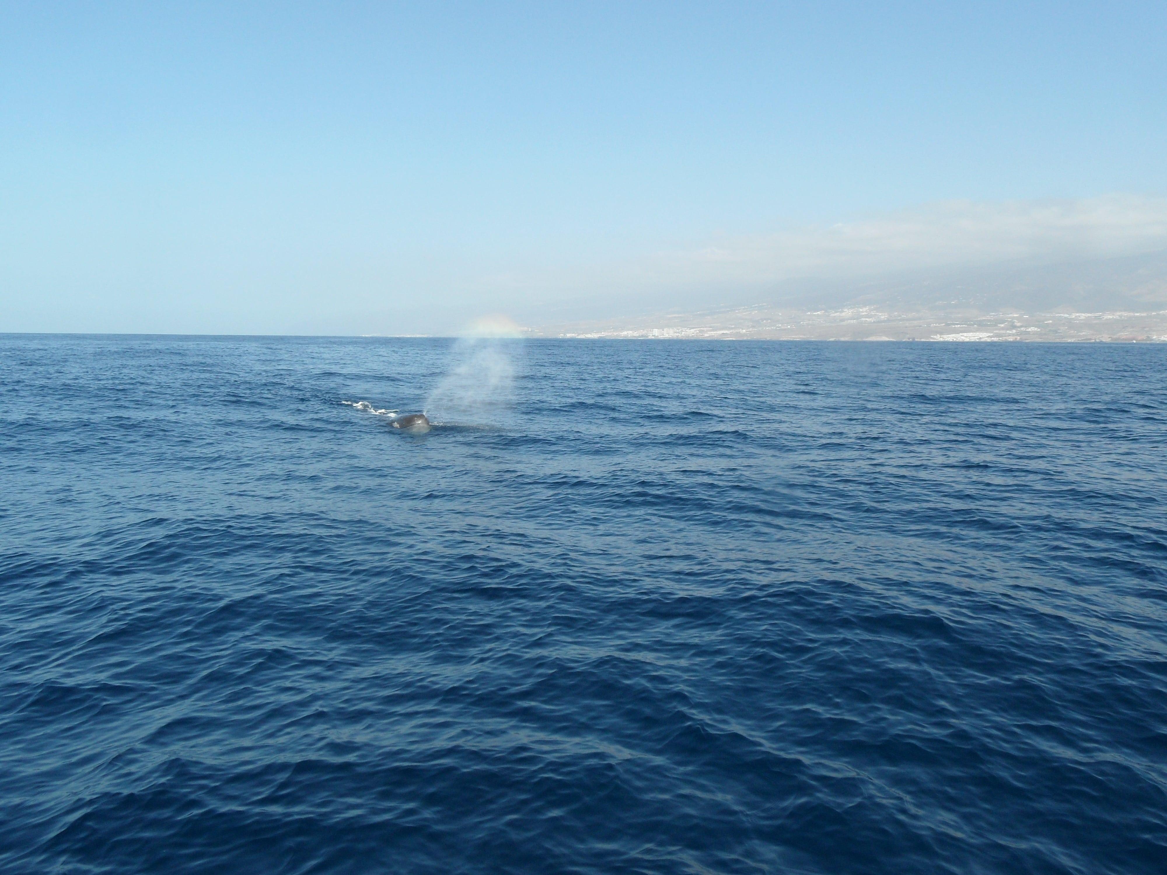 Wal prustet Wasser