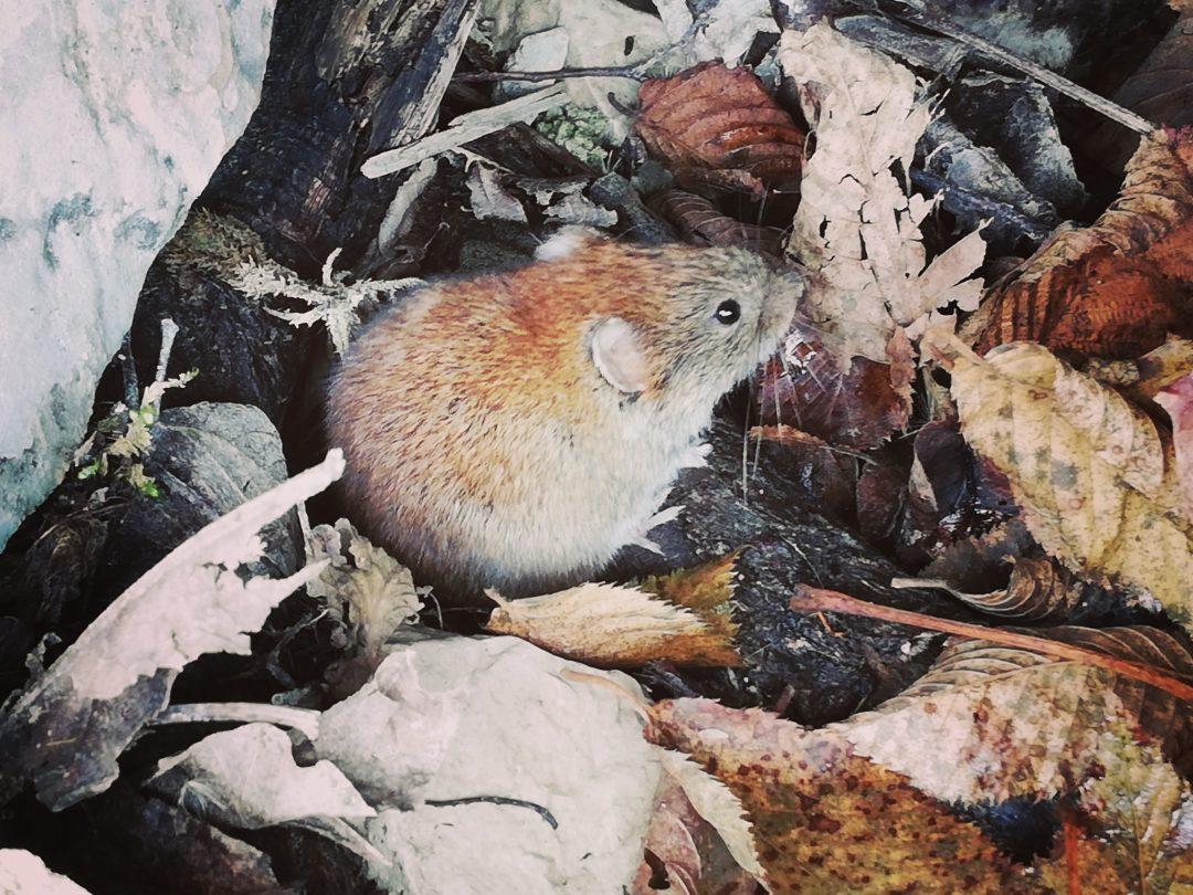 Maus in der Natur